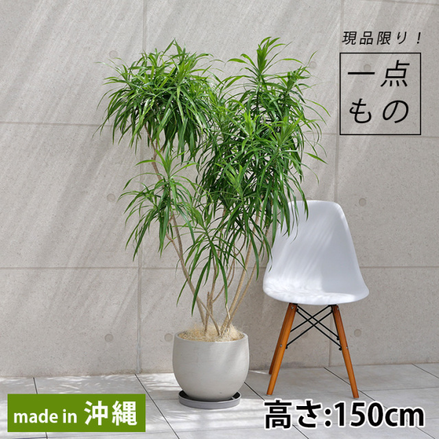 ドラセナ・レフレクサ-002 ファイバーセメント製鉢植え