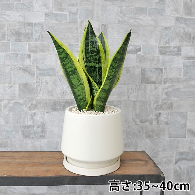 サンスベリア・スパーバ 陶器鉢植え・Sサイズ(マットシリーズ/モルティ)