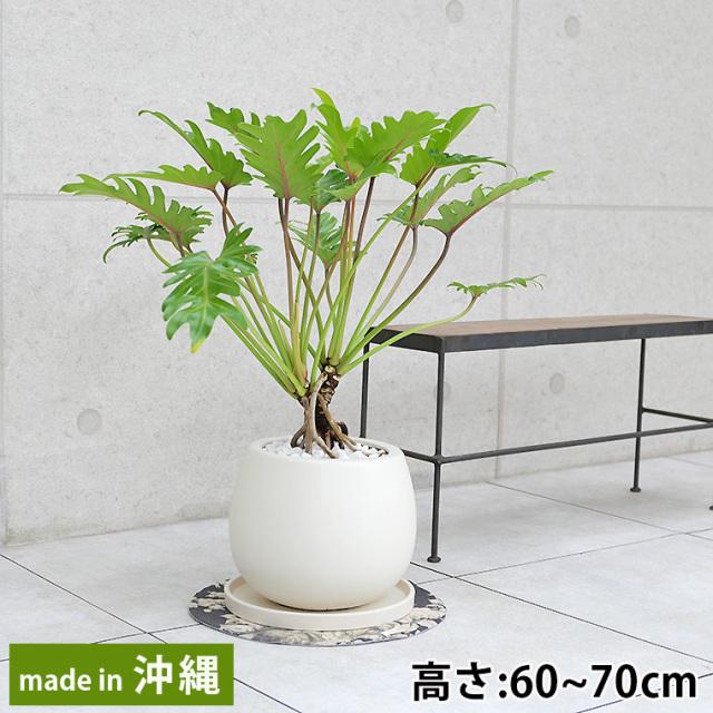 クッカバラ(フィロデンドロン・ゴールデンザナドゥー) 陶器鉢植え・Mサイズ(マットシリーズ/ムーン)