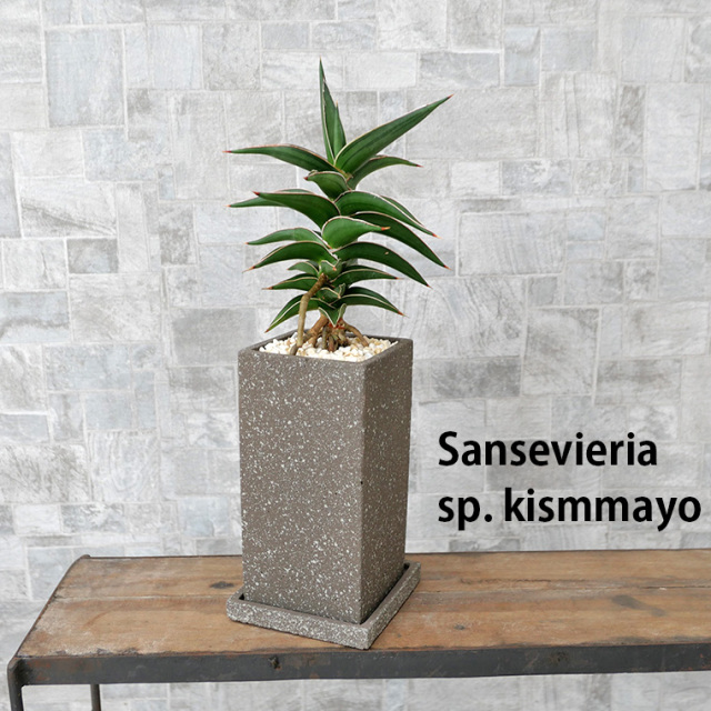 サンスベリア・キスマヨ 陶器鉢植え