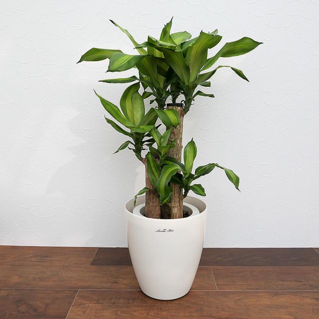 ドラセナ・マッサンゲアナ(幸福の木) 7号鉢