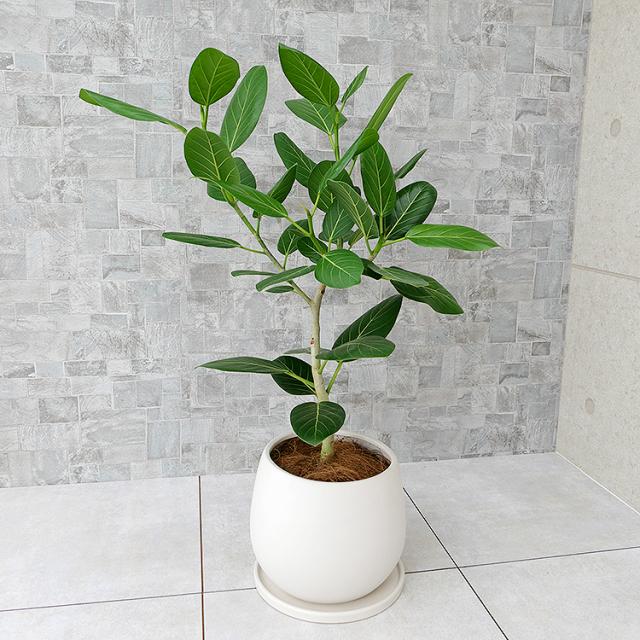 フィカス・ベンガレンシス 陶器鉢植え(マットシリーズ/ムーン)