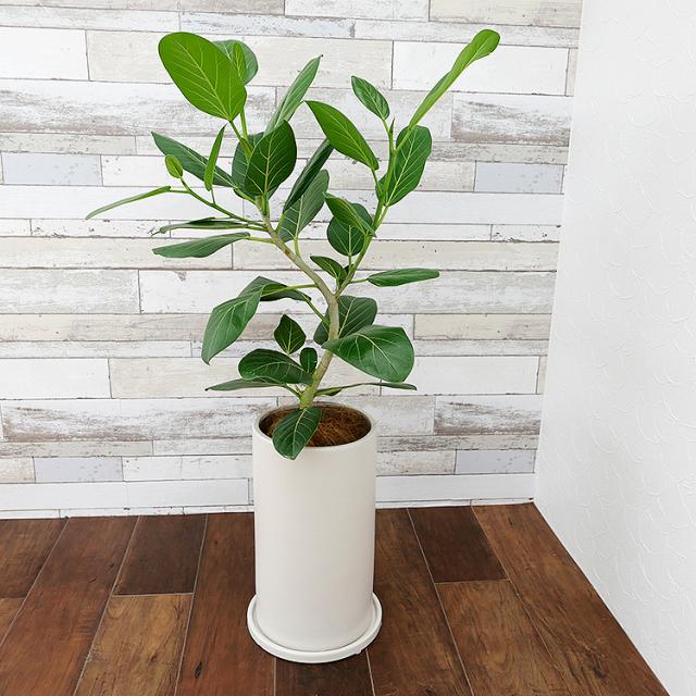 フィカス・ベンガレンシス 陶器鉢植え・Lサイズ(マットシリーズ/シリンダー)