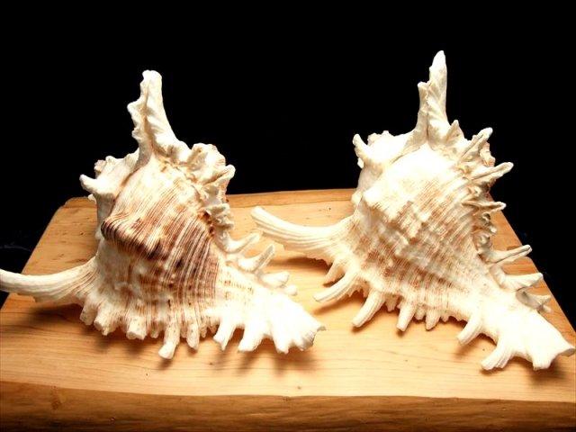 大き目 貝がら 夏と海を感じる巻き貝のナチュラル貝殻インテリアとして使うとステキです! サイズ約17×12cm前後