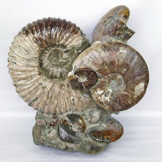 19.7Kg ドゥビレイセラス 化石同梱不可[T726-911]