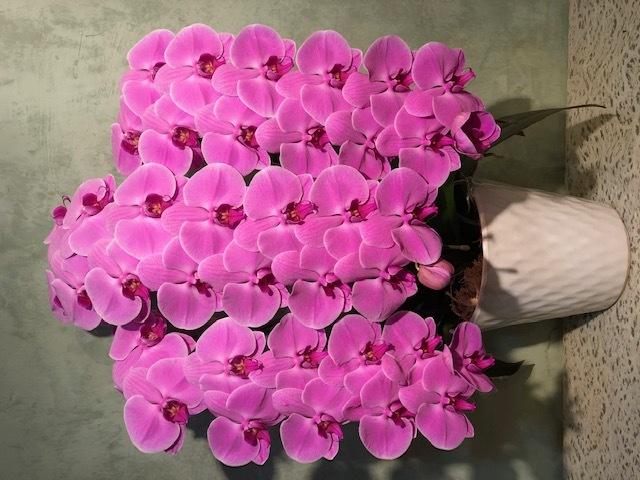 3本立ピンク