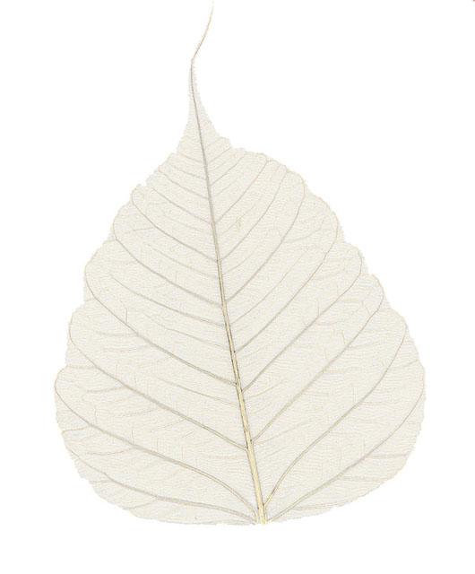 菩提樹葉脈200枚1箱(キナリ)