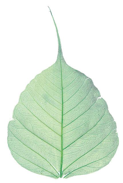 菩提樹葉脈200枚1箱(ミドリ)
