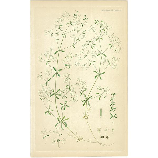 スウェーデン アンティークボタニカルプリント 植物画0059