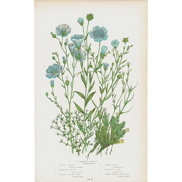 イギリス ボタニカルプリント/植物画/ボタニカルアート Pl.46