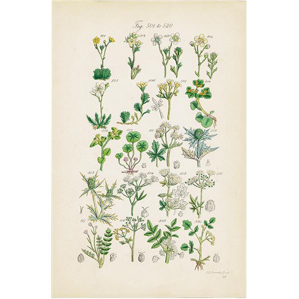 イギリス ボタニカルプリント/植物画/パセリ・ヘムロック0047