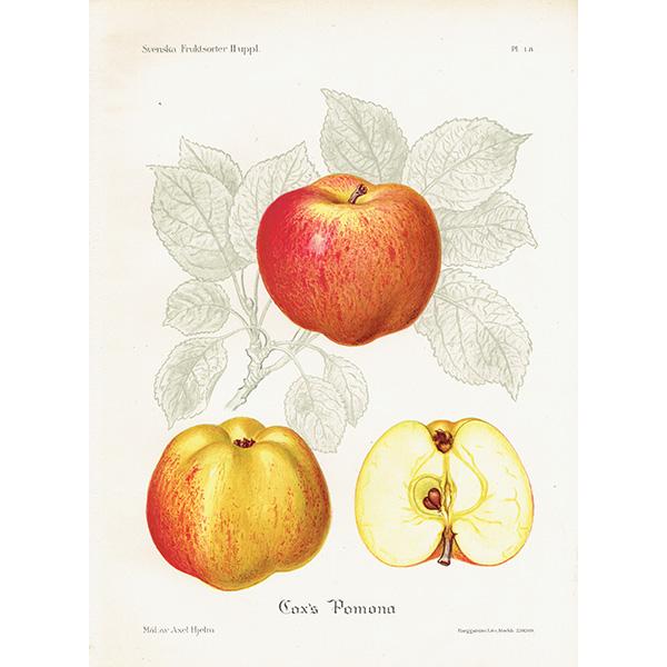 スウェーデン リンゴのアンティークボタニカルプリント(アップル) 果実学 植物画0149