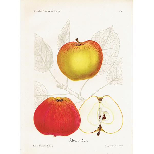 スウェーデン リンゴのアンティークボタニカルプリント(アップル) 果実学 植物画0150