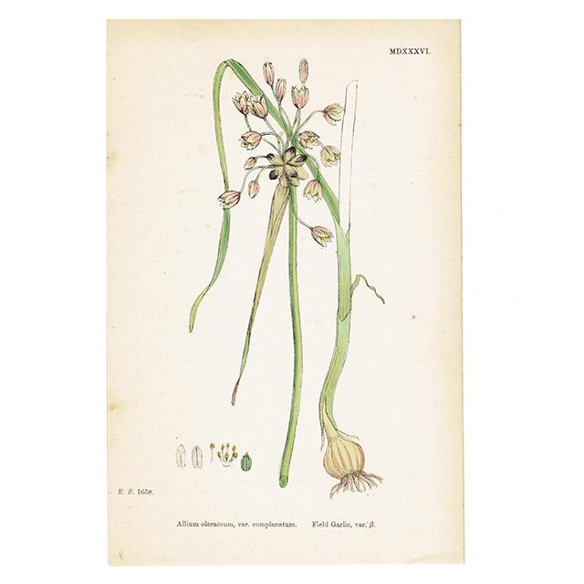 イギリス アンティークボタニカルプリント Field Garlic