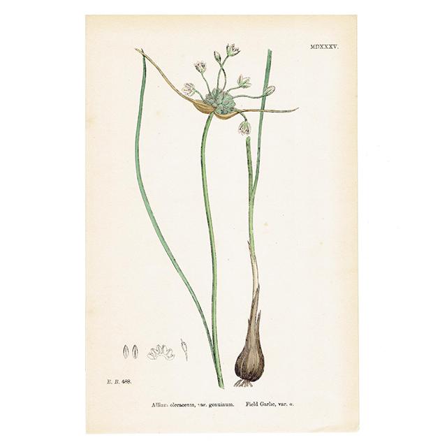 イギリス  アンティークボタニカルプリント Field Garlic,var.α
