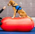 犬用バランスボール FitPAW ピーナッツ 80cmタイプ