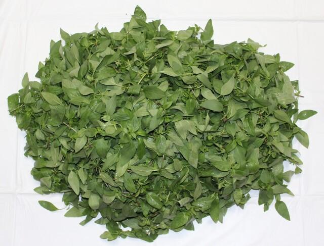 国産タイバジル(ホラパー)(1kg)