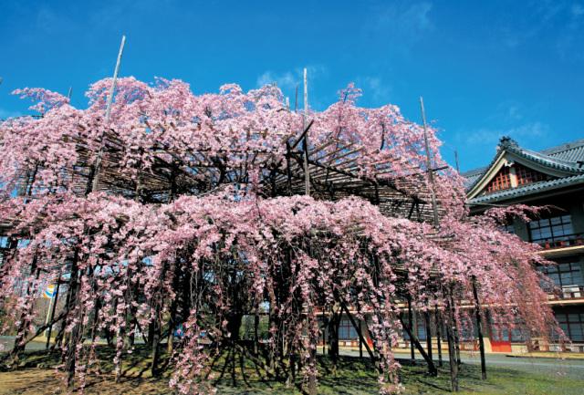 ポストカード2020-2別席場前の枝垂桜