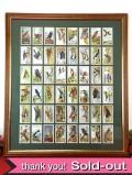 1930年代:貴重なGALLAHER社のシガレット・カードの大きな額「野鳥」