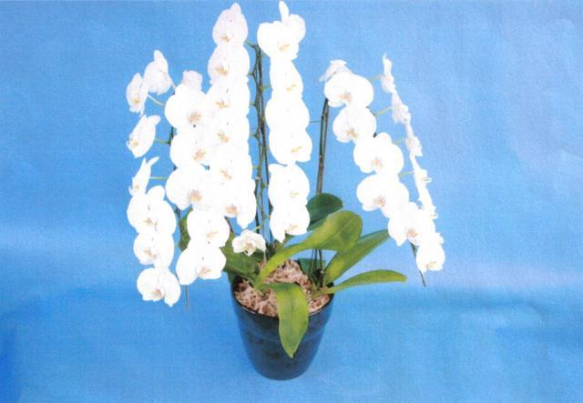 胡蝶蘭(ファレノプシス)【白色】