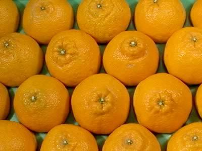 栗山園のみかん・オレンジ