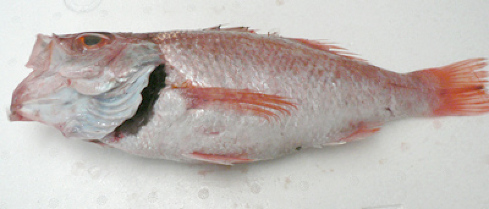 のどぐろ(鮮魚)500~600g