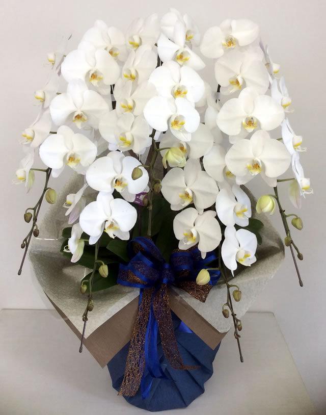 胡蝶蘭 5本立て ホワイト (ENZ_RAN-PL-W5LL)