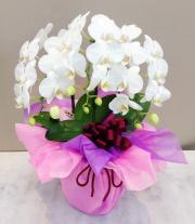 胡蝶蘭 3本立て ホワイト