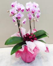 胡蝶蘭 2本立て ピンク
