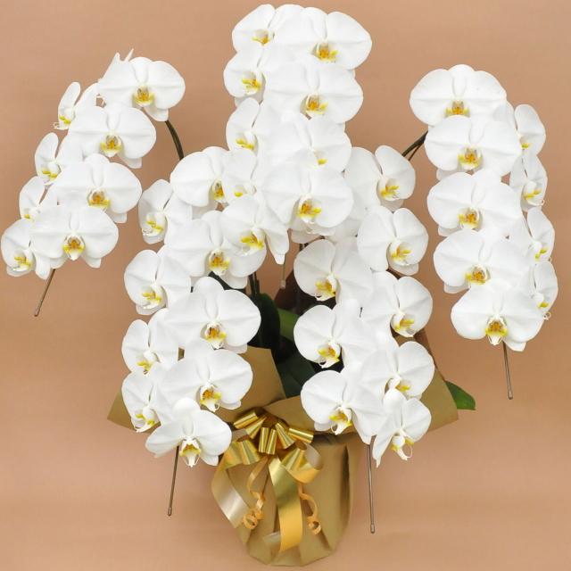 大輪 胡蝶蘭 5本立ち 白 Vクラス ラッピング16種類