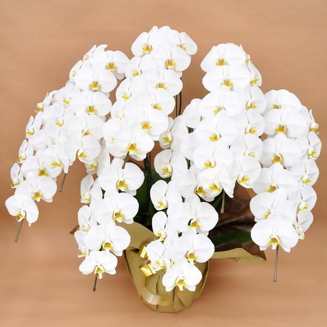 大輪 胡蝶蘭 7本立ち 白 Sクラス ラッピング16種類