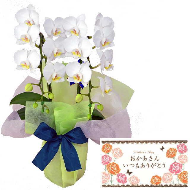 母の月 母の日 メッセージカード付き ミディ胡蝶蘭 2本立ち 白色