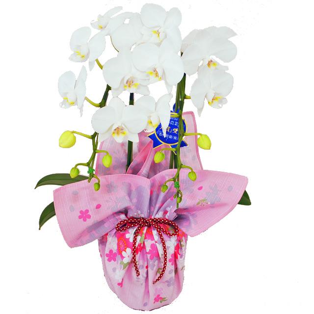 風呂敷 包み 胡蝶蘭  誕生日 お祝い 開店祝い