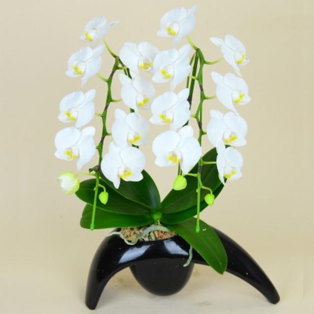 胡蝶蘭 2本立ち 白色 ミディ トランス 長足陶器鉢
