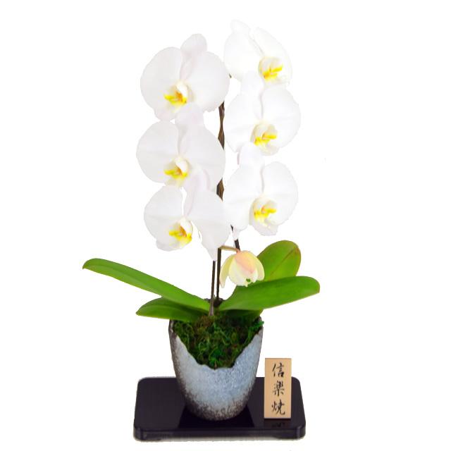 大輪系 胡蝶蘭 1本立ち 白 信楽焼鉢