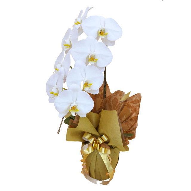 大輪 胡蝶蘭 1本立ち 白 Cクラス ラッピング16種類