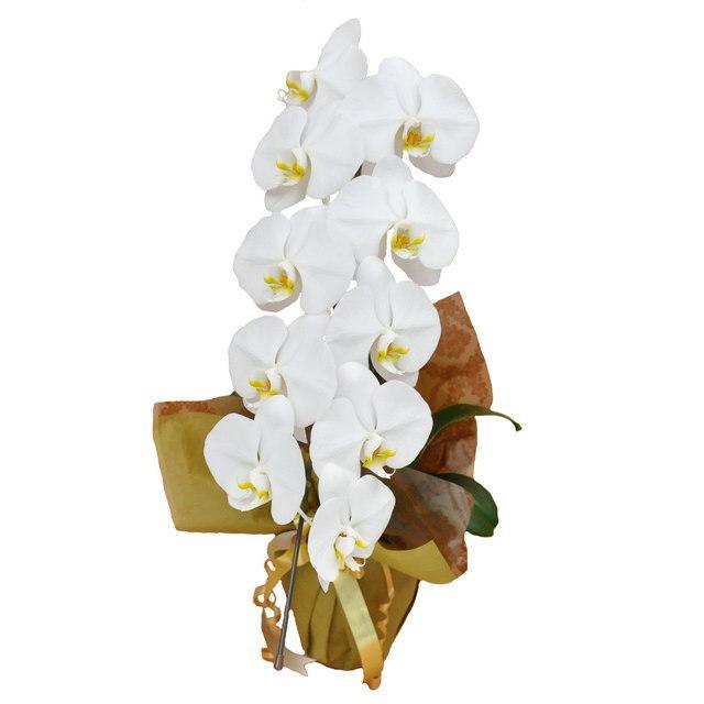 大輪 胡蝶蘭 1本立ち 白 Mクラス ラッピング16種類