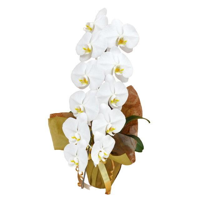 大輪 胡蝶蘭 1本立ち 白 Vクラス ラッピング16種類