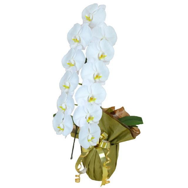大輪 胡蝶蘭 1本立ち 白 Eクラス ラッピング16種類