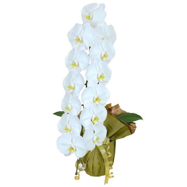 大輪 胡蝶蘭 1本立ち 白 Sクラス ラッピング16種類
