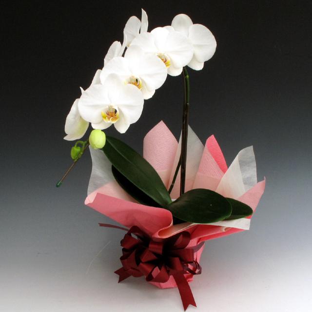 胡蝶,蘭,コチョウラン,祝い,開店,配達,ギフト,通販,贈り物,プレゼント