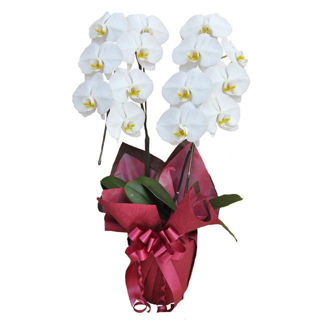 大輪 胡蝶蘭 2本立ち 白 Cクラス ラッピング16種類