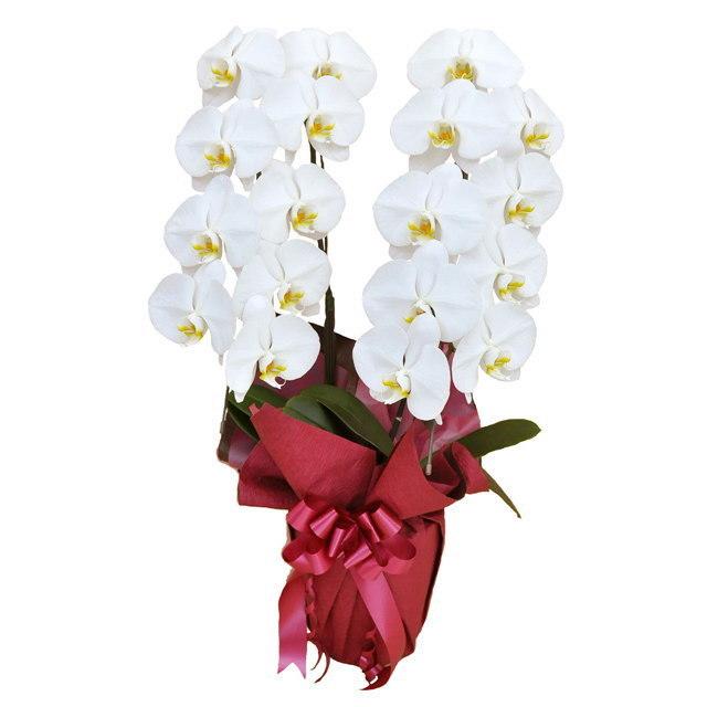 大輪 胡蝶蘭 2本立ち 白 Mクラス ラッピング16種類