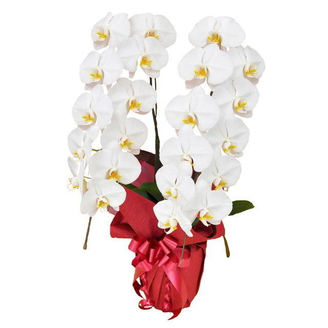 大輪 胡蝶蘭 2本立ち 白 Eクラス ラッピング16種類