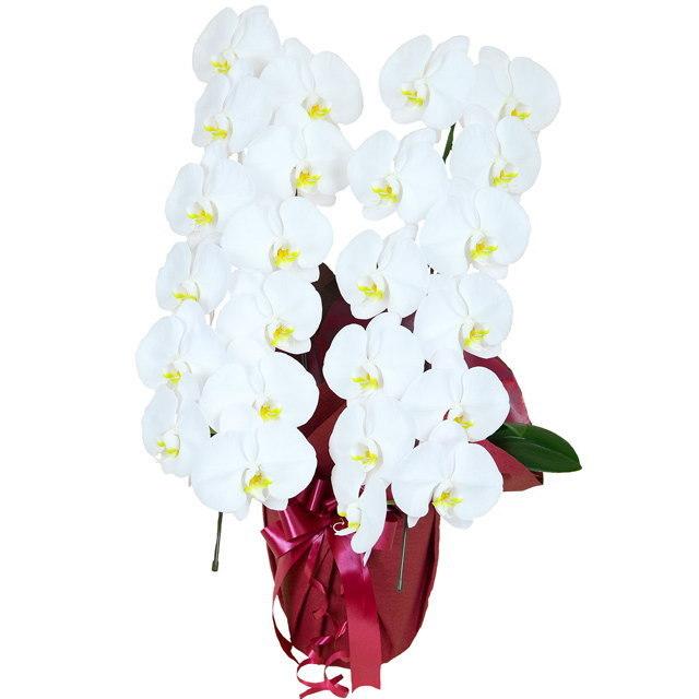 大輪 胡蝶蘭 2本立ち 白 Rクラス ラッピング16種類