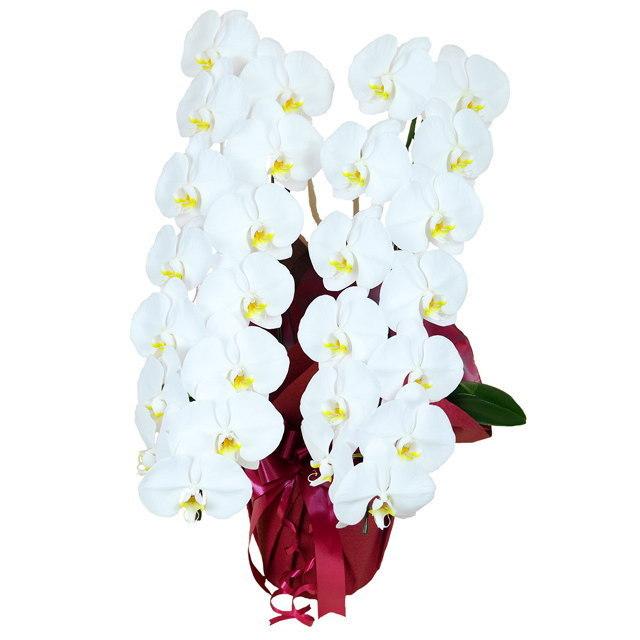 大輪 胡蝶蘭 2本立ち 白 Kクラス ラッピング16種類