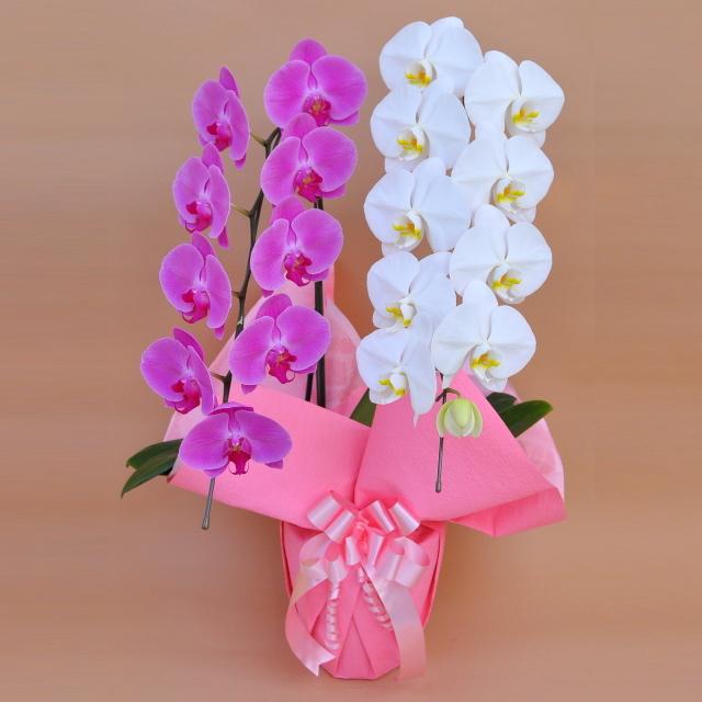 胡蝶蘭 2本立ち ミックス 白色 ピンク色 寄せ 大輪 Vc