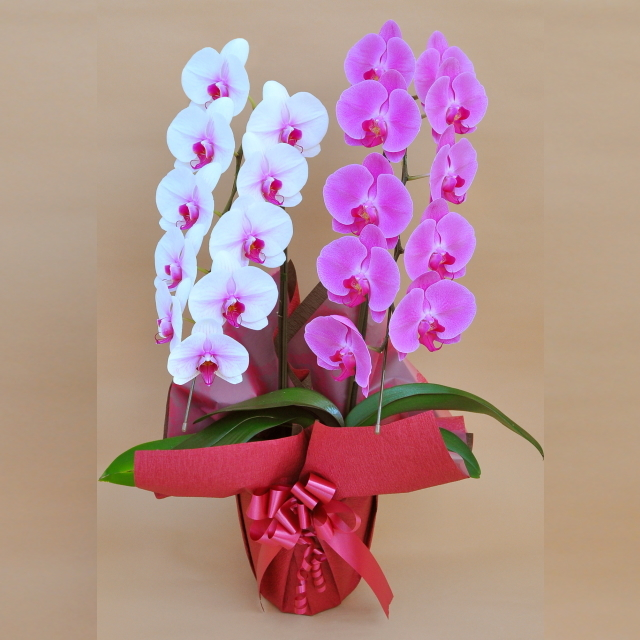 胡蝶蘭 2本立ち ミックス 赤リップ色 ピンク色 寄せ 大輪 Vc