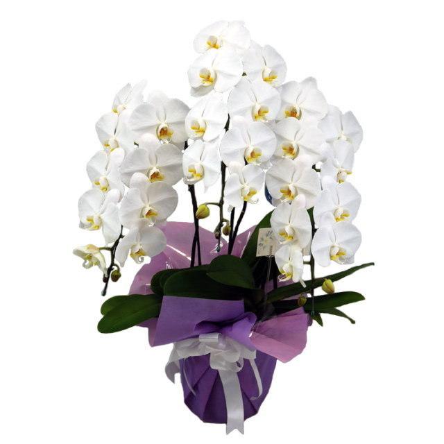 胡蝶蘭 3本立ち 白 選べるお供えラッピング