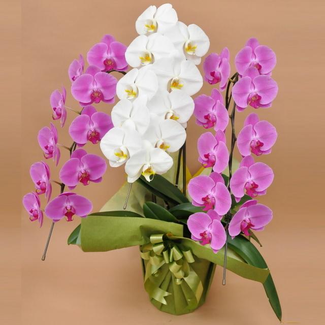 胡蝶蘭 3本立ち ミックス 白色 ピンク色 寄せ 大輪 Vc